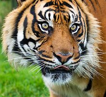 Nias Male Tiger at WHF by Elaine123