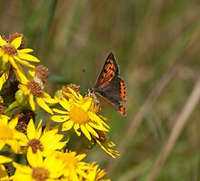 Small Copper Butterfly by Jon Lees