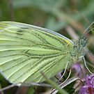 Green veined white by Jon Lees