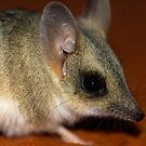Spinifex Hopping Mouse. by trevorb