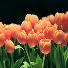 orange tulips by neoellis