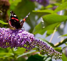 Red Admiral by Studio95