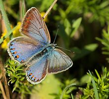 Female Common Blue by Robert Abraham