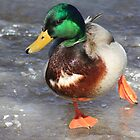 Mallard Ducks  -- 2011 Calendar by Albert1000