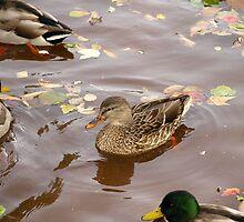 Duck11 by Albert1000