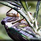 Cicada by Dennis Cheeseman