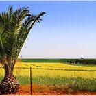 Canola fields with palm tree by galemc
