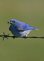 Male Mountain Bluebird by Vickie Emms