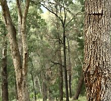 Australian Forest - Healesville by cmaloney