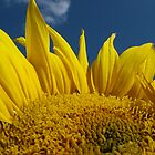 Sunflower and Blue Sky by dragoncity