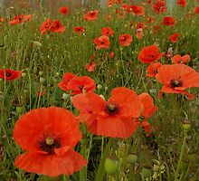 Red poppy by Julie Short