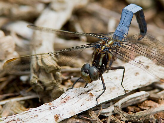 Male Keeled Skimmer by Neil Bygrave (NATURELENS)