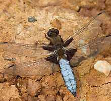 Male Broad-bodied Chaser by Neil Bygrave (NATURELENS)