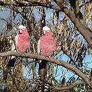 Galahs in Canberra part 2 by apotek
