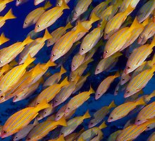 Blue Striped Snappers by Greg Amptman