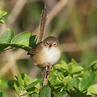 Female Red backed Fairy Wren by kirribas30