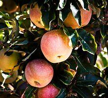 Apple Harvest...yumm by WiredMarys