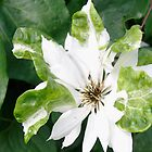 White Flower by Darren Spidell