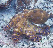 Blue ringed octopus by kirribas30