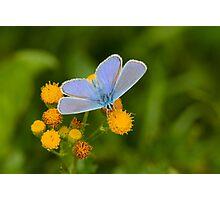 Male Common Blue Photographic Print