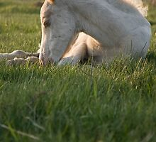 beautiful cute white foal by Andrew Lever