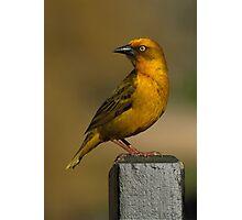 Weaver at Sunset Photographic Print