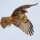 Birthday Hawk by Marvin Collins