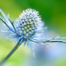Eryngium Dream by Sarah-fiona Helme