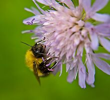 Bombus Sylvarum by James Birkbeck
