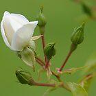white rosebud by Penny Lees