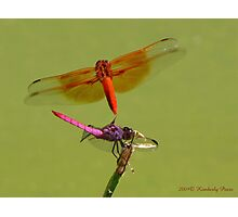 Dragonflies ~ Roseate Skimmer & Flame Skimmer Photographic Print
