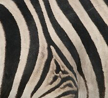 Zebra Stripes by naturalnomad