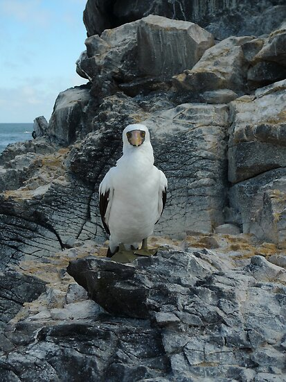 The Nazca Booby Stare by Peter Zentjens