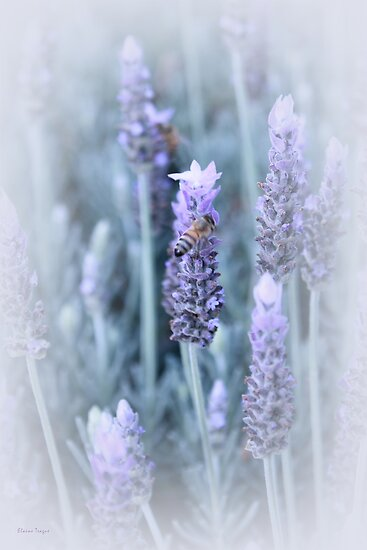 Lavender by Elaine Teague