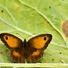 Gatekeeper Butterfly by Trevor Kersley