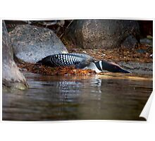 Nesting Loon Poster