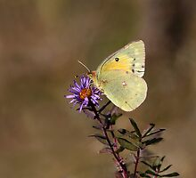 Clouded Sulfur Butterfly by Gary Fairhead