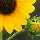 Prarie Sunflower 2 by elasita