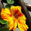 Orange nasturtium by Ana Belaj