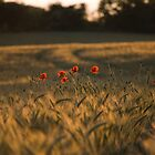 Summer poppies by Dimbledar