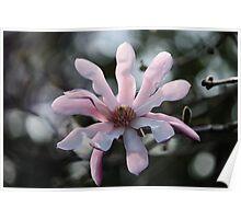 ☼ Magnolia ☼  Poster