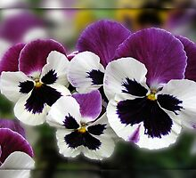 Rose Wing Pansies in Mirrored Frame by BlueMoonRose