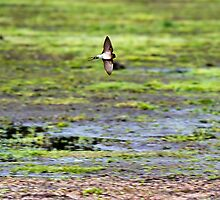 Swallow in Flight by Nick Sage