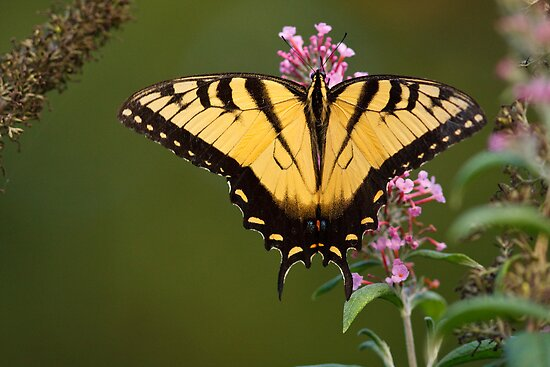 Eastern Tiger Swallowtail by Joe Elliott