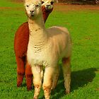 Alpacas  by bobby1