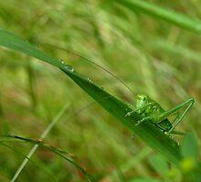 Locust by heinrich