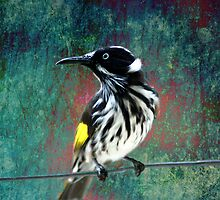 New Holland Honeyeater by Eve Parry