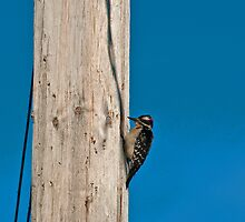 Wood Pecker by Nuttee Ratanapiseth