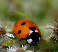 Ladybird by duncandragon