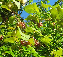 Late Summer Grapes on the Vine by MarianBendeth